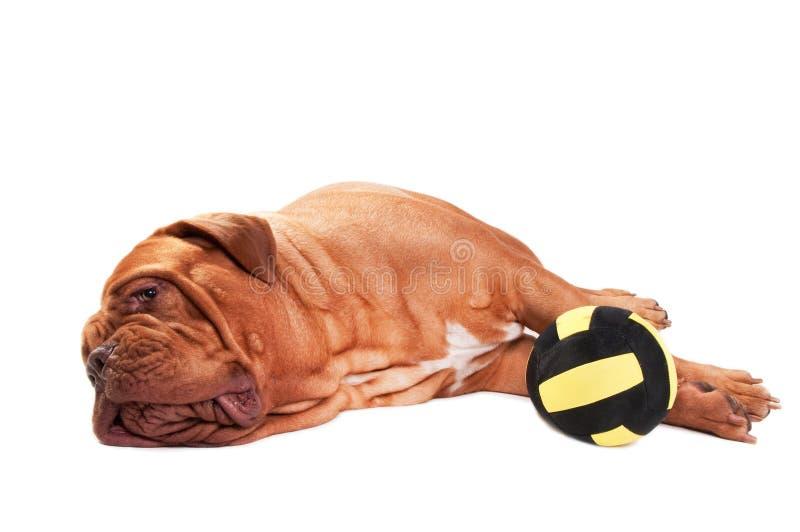 Hond die van het spelen wordt vermoeid royalty-vrije stock fotografie