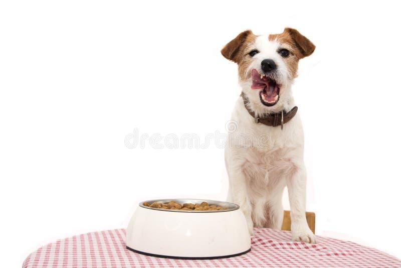 Hond die voedsel eet JACK RUSSELL-AANEENSCHAKELING MET TONG UIT NAAST EEN KOM EN OVER EEN LIJST stock afbeeldingen