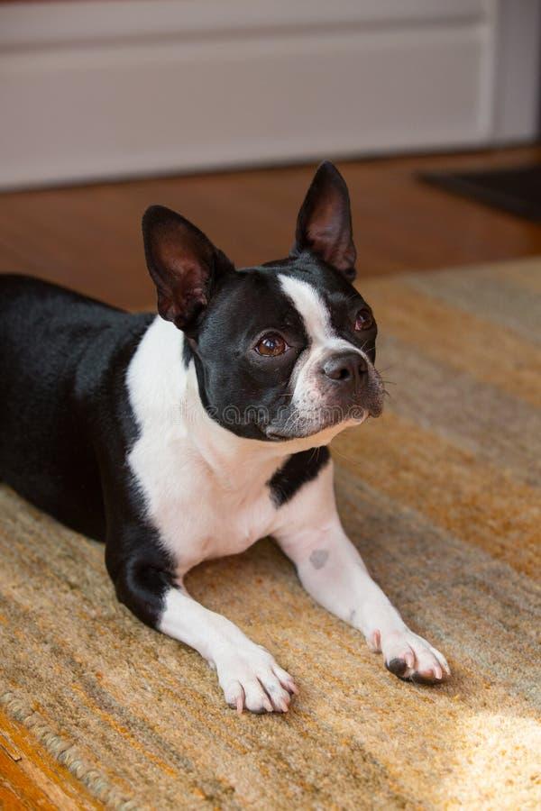 Download Hond Die Vooruit Eruit Zien Stock Foto - Afbeelding bestaande uit leuk, dier: 39109514