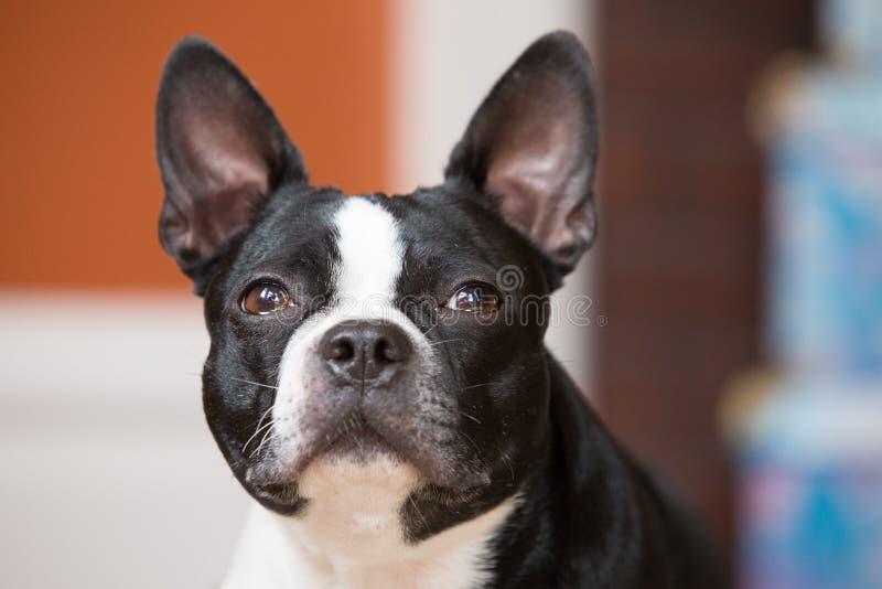 Download Hond Die Vooruit Eruit Zien Stock Afbeelding - Afbeelding bestaande uit eating, boston: 39109521