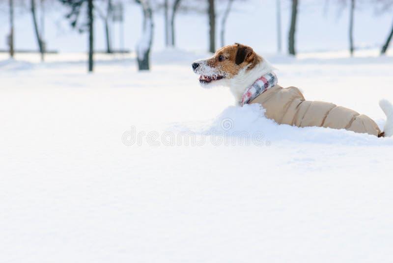 Hond die warme kleren dragen die in diepe sneeuwafwijking spelen stock fotografie
