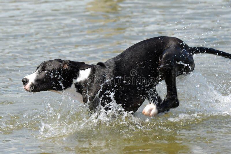Hond die in water loopt royalty-vrije stock fotografie