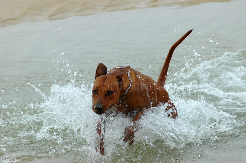 Hond die in water springt stock foto's