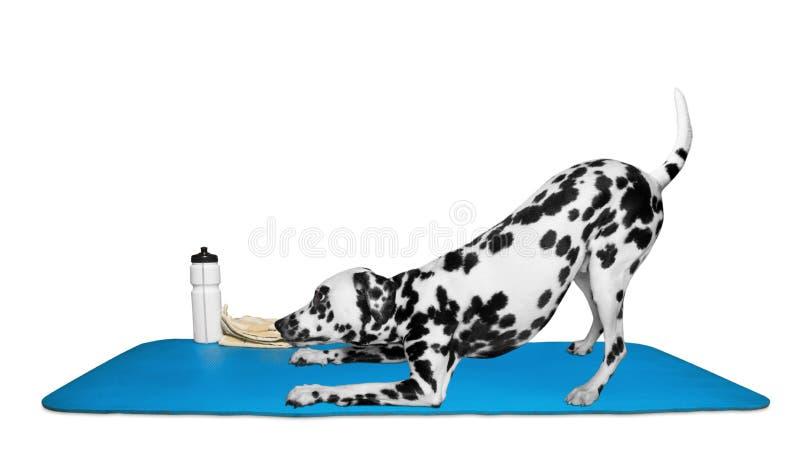 Hond die yoga of pilates oefening doen stock afbeeldingen