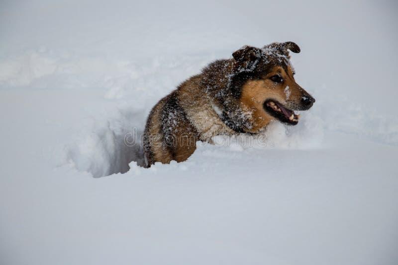Hond die zich in de diepe sneeuw omdraaien royalty-vrije stock foto
