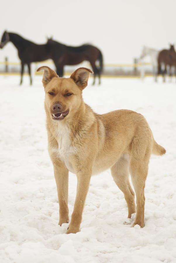 hond die zich in de sneeuw op een achtergrond van paarden bevinden royalty-vrije stock afbeelding