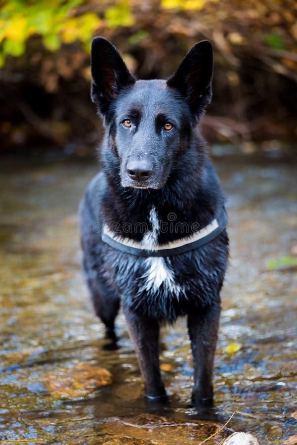 Hond die zich in een rivier bevinden stock fotografie