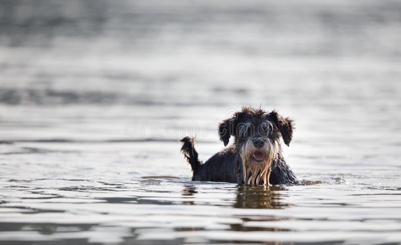 Hond die zich in ondiep water bevinden royalty-vrije stock afbeeldingen