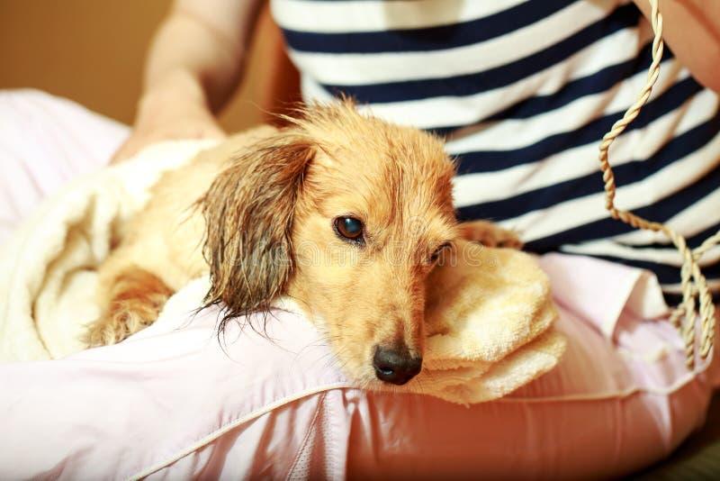 Hond die zijn bont krijgen met een ventilator droog bij groomer stock afbeelding