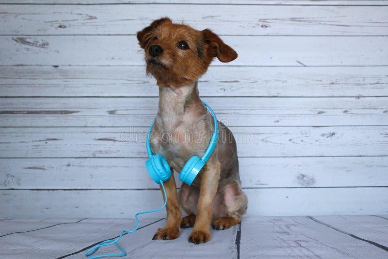 Hond DJ die zeer aandachtig en aan de geluiden luisteren die hij in de hoofdtelefoonsaudio rond zijn slag heeft gehoord royalty-vrije stock foto's