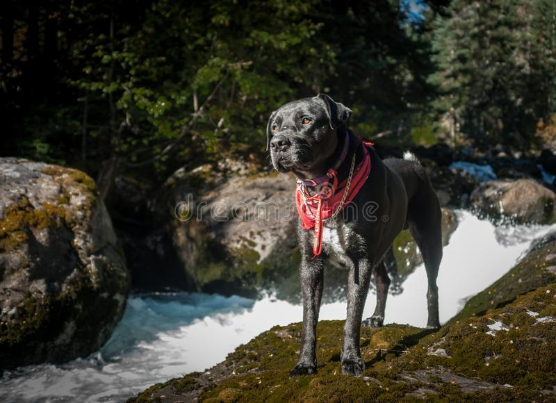 Hond door de rivier royalty-vrije stock afbeeldingen