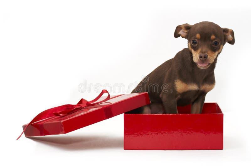 Hond in doos stock foto