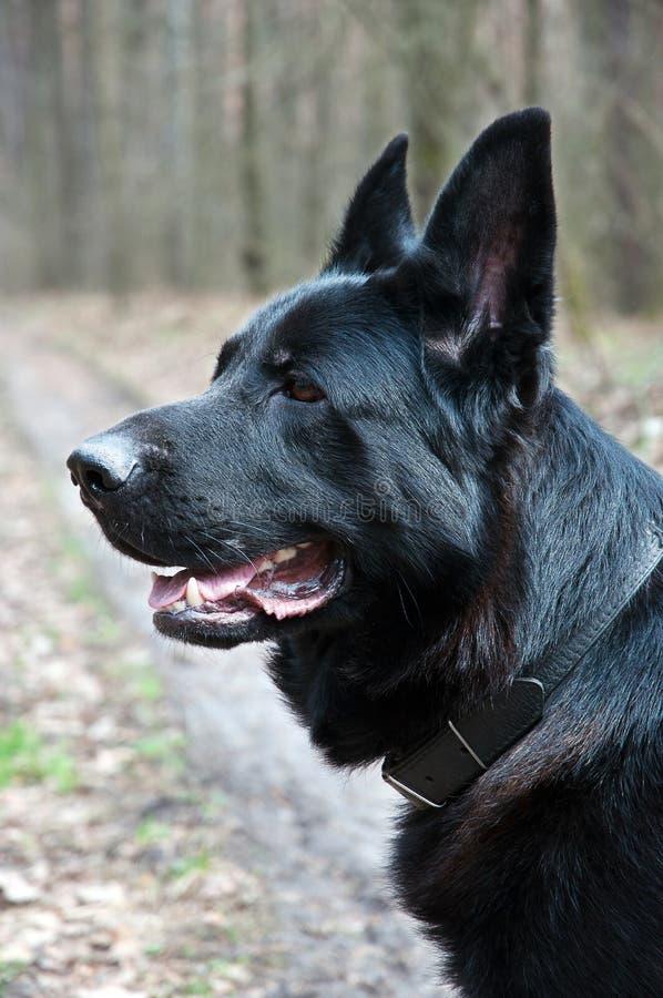 Hond, Duitse herder op de aard stock fotografie