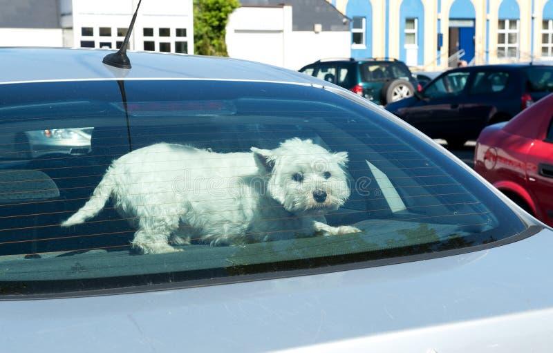 Hond in een Achterruit van de Auto stock afbeeldingen