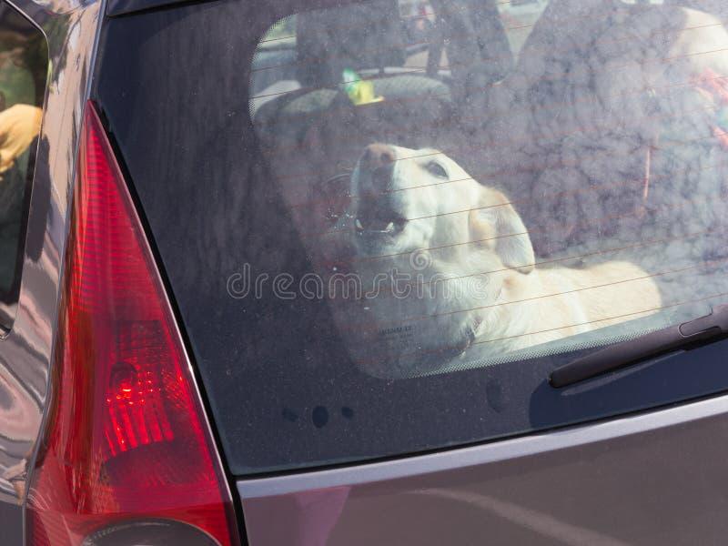 Hond in een auto wordt gesloten die royalty-vrije stock foto's