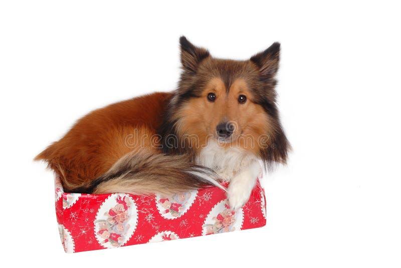 Hond in een Kerstmisdoos stock afbeeldingen