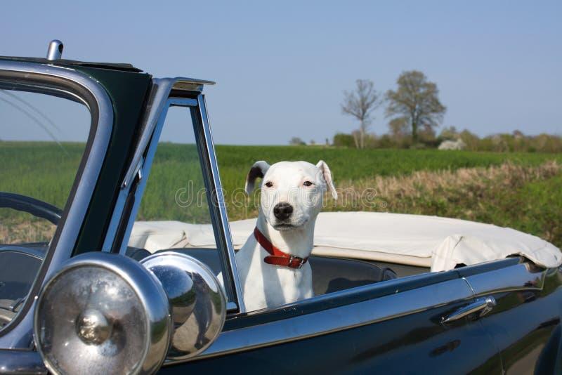 Hond in een retro auto royalty-vrije stock foto