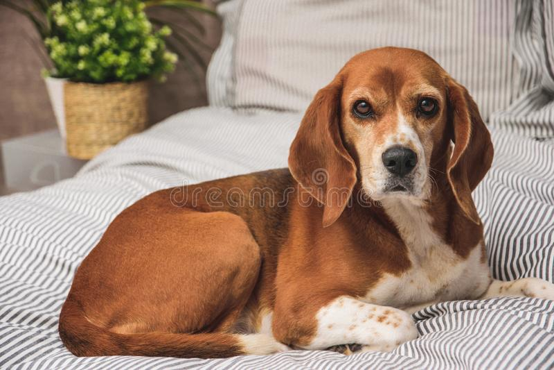 Hond in eigenaarsbed of bank Luie brakhond vermoeide slaap of ontwaken Hond het rusten royalty-vrije stock foto