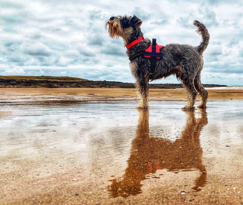 Hond en bezinning over nat strand stock foto's