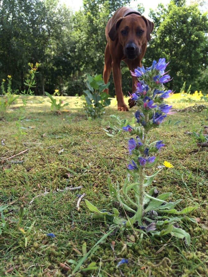 Hond en bloem stock foto