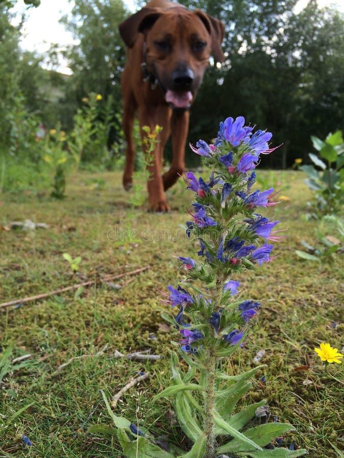 Hond en bloem royalty-vrije stock foto