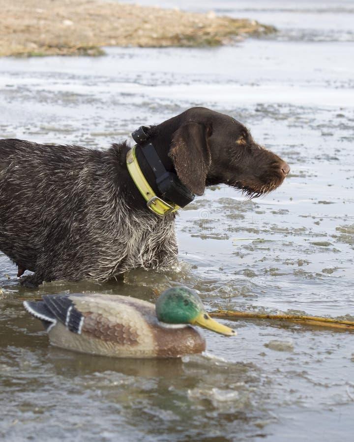 Hond en een Valstrik stock afbeeldingen