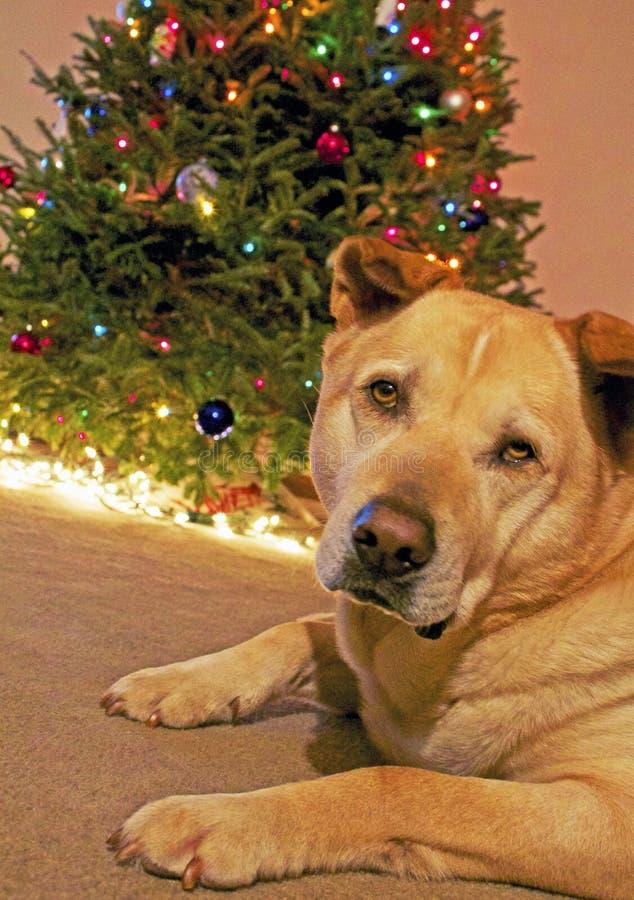 Hond en Kerstmisboom stock afbeeldingen