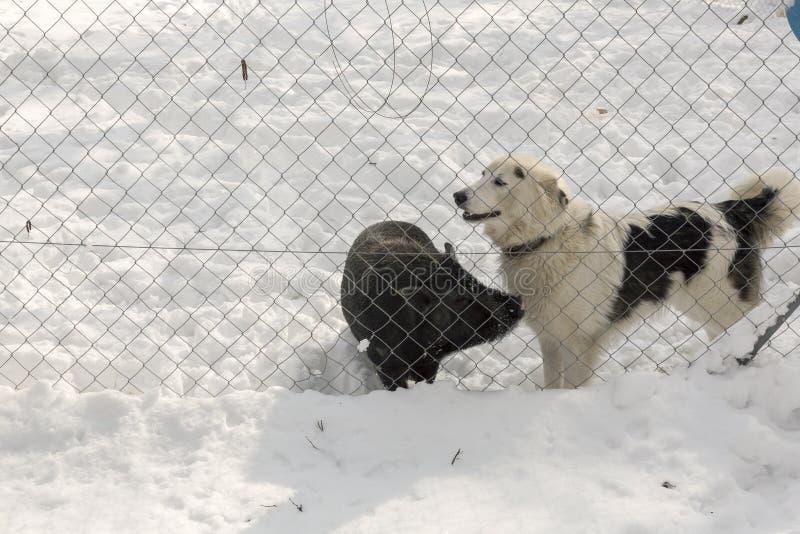 Hond en varkens beste vrienden bij het landbouwbedrijf royalty-vrije stock fotografie