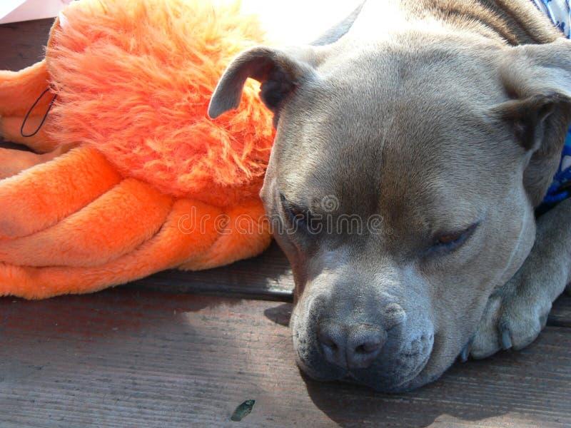 Hond en zijn stuk speelgoed stock foto's