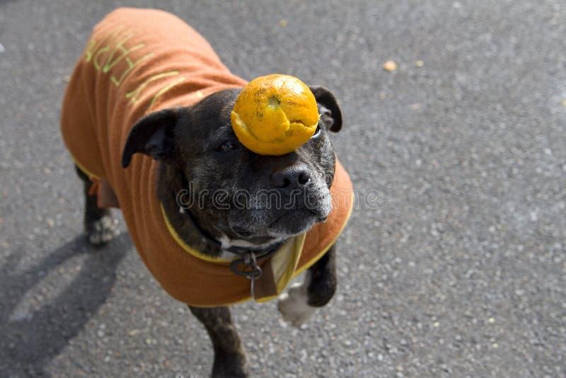 Hond in evenwicht brengende sinaasappel op zijn neus stock afbeelding