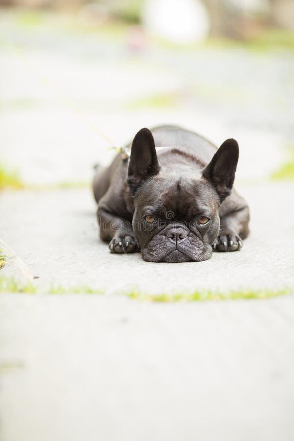 Hond Franse Buldog stock afbeelding