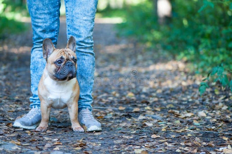 Hond Franse buldogtribunes bij de voeten van de eigenaar De achtergrond van de herfst Rode en oranje het bladclose-up van de kleu royalty-vrije stock foto's