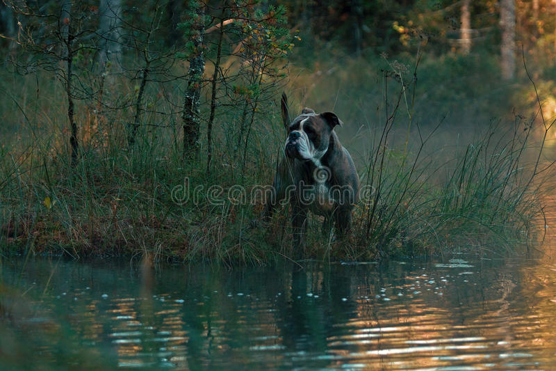 Hond in froggy bosmeer royalty-vrije stock afbeelding