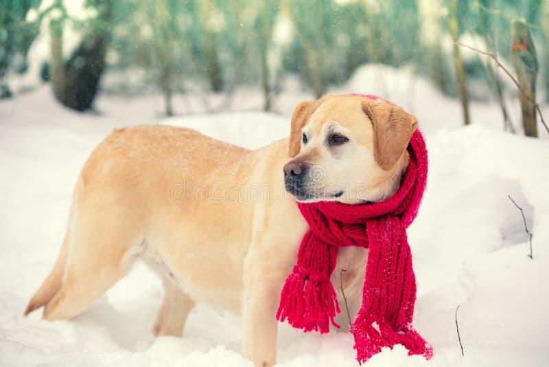 Hond gekleed in een rode gebreide sjaal royalty-vrije stock afbeeldingen