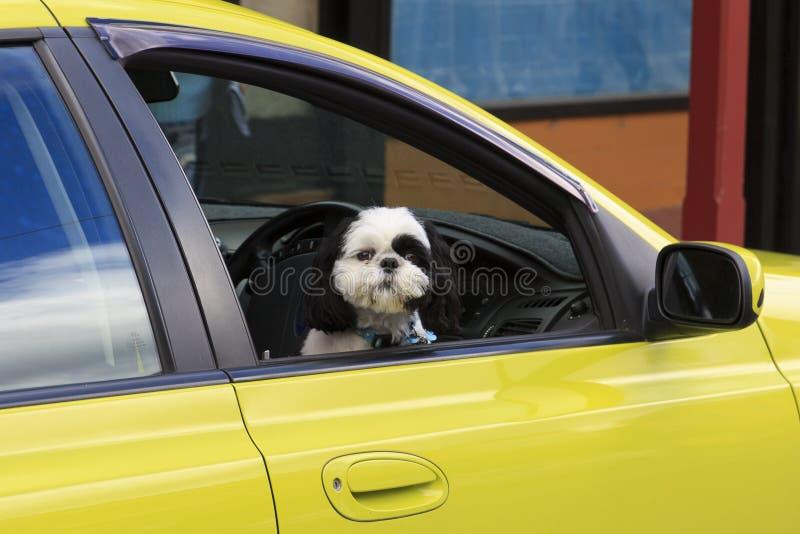 Hond in gele auto stock afbeeldingen