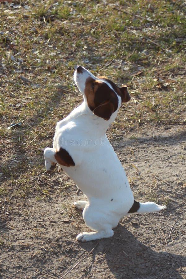 Hond genoemde Noshpa royalty-vrije stock fotografie