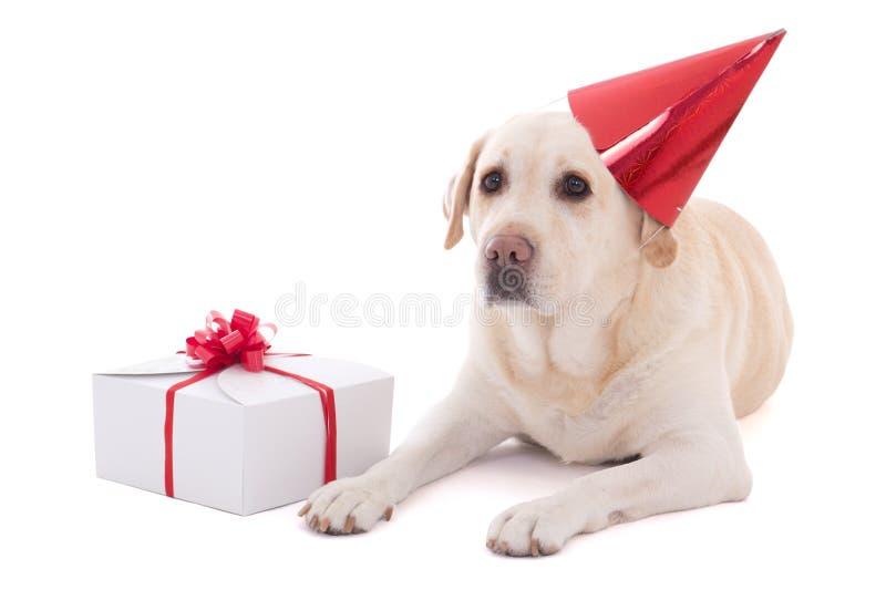 Hond (golden retriever) in verjaardagshoed met gift die op whi wordt geïsoleerd stock foto
