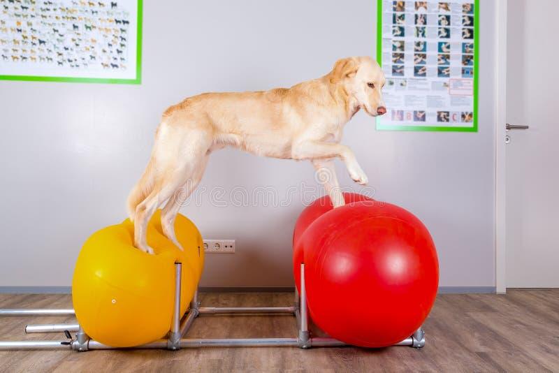 Hond het in evenwicht brengen op opblaasbare hulpmiddelen in dierenartsenbureau stock afbeelding