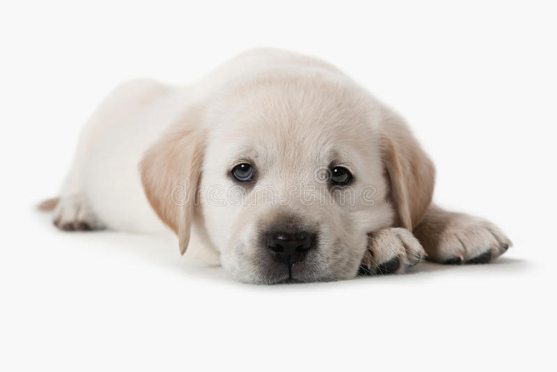 Hond - het Gouden Puppy van de Retriever stock foto