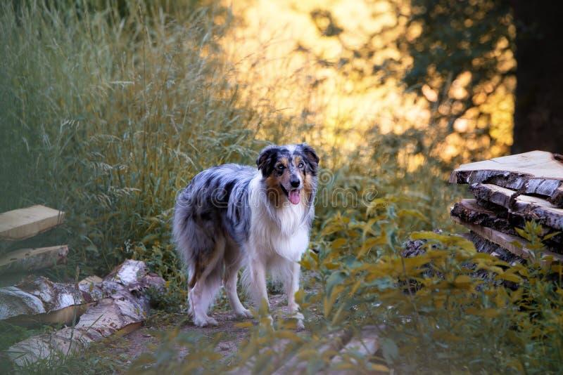Hond in het hout royalty-vrije stock foto