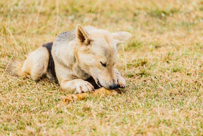 Hond het knagen aan op een been in het Gras stock afbeeldingen
