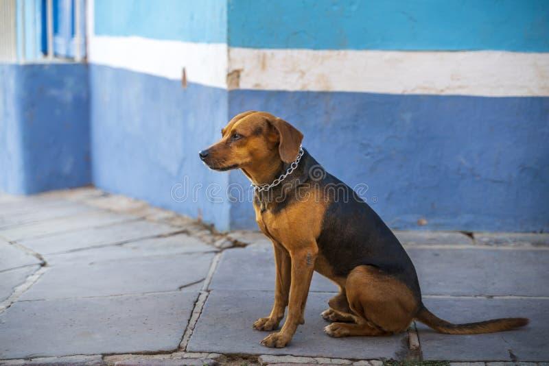 Hond in het koloniale district van Trinidad, Cuba stock fotografie