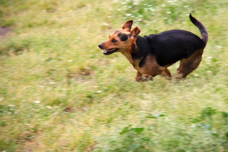 Hond het Lopen stock afbeeldingen