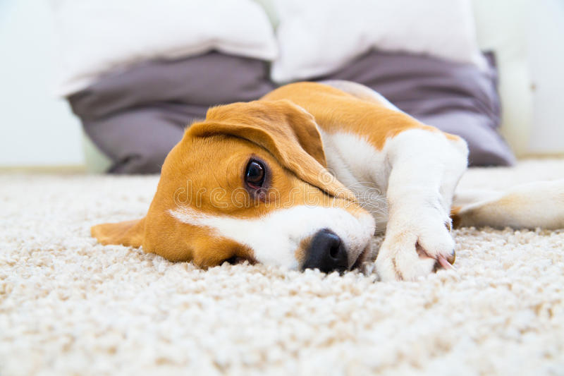Hond het ontspannen op het tapijt royalty-vrije stock foto's