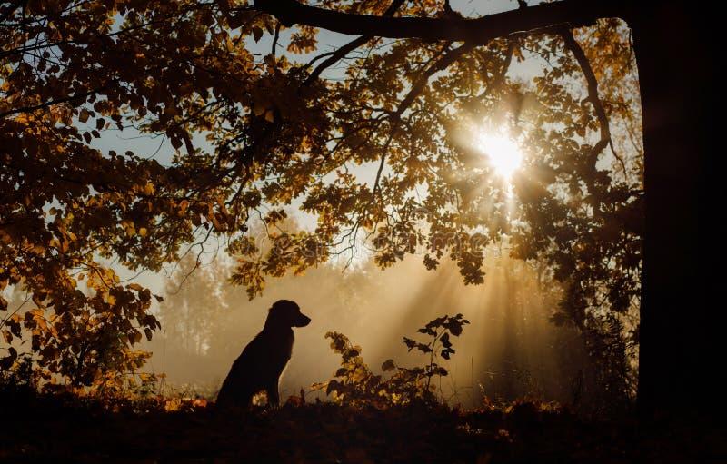 Hond in het Park in de ochtend bij dageraad De stralen van de zon, silhouet Huisdier op de gang Nova Scotia-de Retriever van de e stock foto's