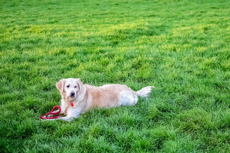 Hond in het Park op het gras stock fotografie