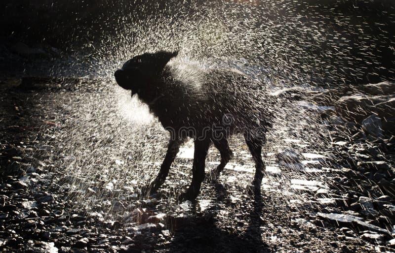 Hond het Schudden van Water royalty-vrije stock afbeeldingen