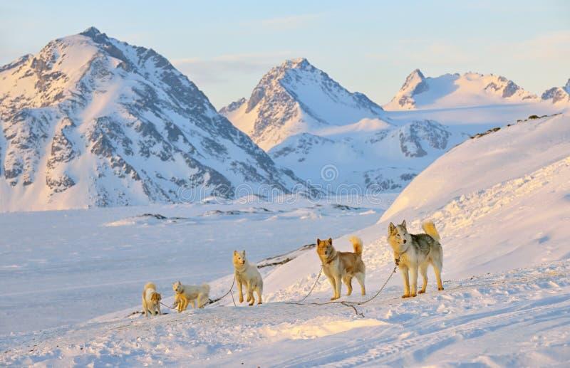 Hond het sledging in de koude sneeuwwinter stock afbeelding
