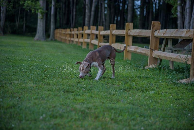 Hond het snuiven gras bij park bij schemer royalty-vrije stock fotografie
