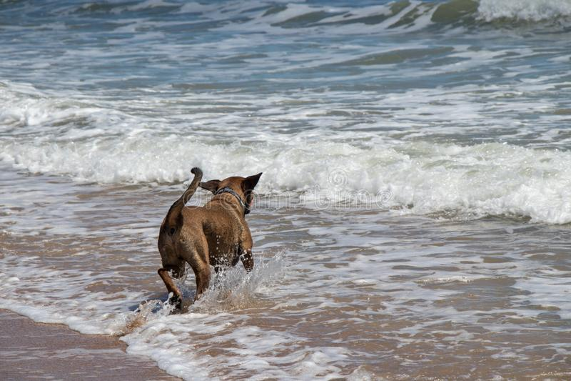 Hond het spelen in het water bij St Augustine Beach stock afbeelding